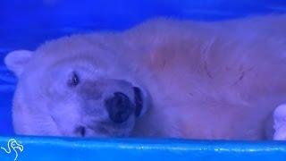 World's Saddest Polar Bear Has Spent His Whole Life In A Mall