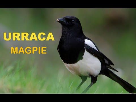URRACA ( Pica pica ) Magpie