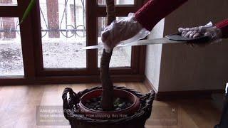 Юкка.  Придать красивую форму юкке.  Размножение юкки. Фильм 1.(Юкка .Как придать красивую форму растению? Юкка красивое растение, которое можно встретить и в саду и как..., 2016-03-30T14:39:02.000Z)