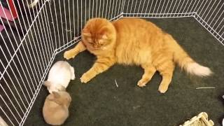 Video Rabbits mistaken for kittens by caring cat download MP3, 3GP, MP4, WEBM, AVI, FLV September 2017