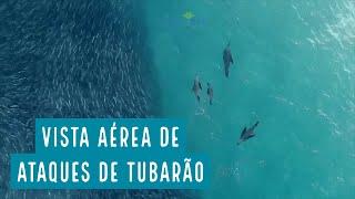 Drone mostra ataques de tubarões, baleias e golfinhos a grandes cardumes na Austrália