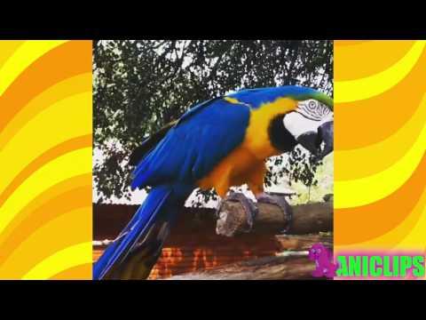 Laughing Parrot Hahahahaha……