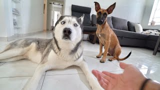 My Husky Meets a Puppy Belgian Malinois! (CUTE)