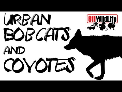Bobcats & Coyotes: Situations & Solutions