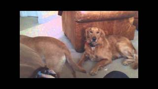 My Golden Retriever With Cancer