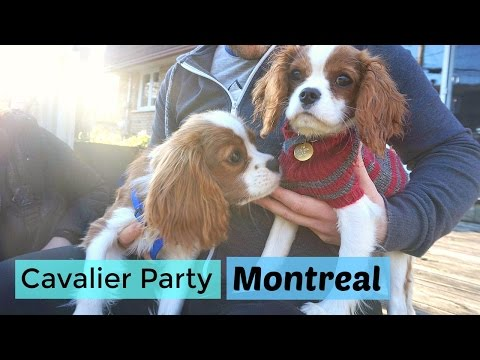 Cavalier King Charles Spaniel Meet Up in Montreal | Dogs & Puppies November 2016