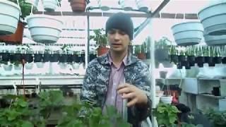 видео Герань обрезка для пышного цветения: подготовка растения