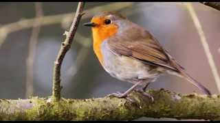 4 Hours of Birdsong - Robin Bird Song - Nature Sounds