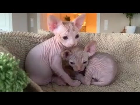 Cutest Sphynx Kittens Lovely Hairless Kittens