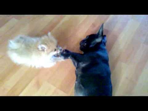 Pomeranian Vs French Bulldog Dog Fight Youtube