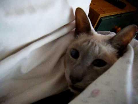 talking siamese cat mitzy