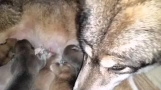 2016/1/31にハイブリッドウルフの赤ちゃんが生まれました。