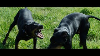 Friendly Manchester Terriers (4к)
