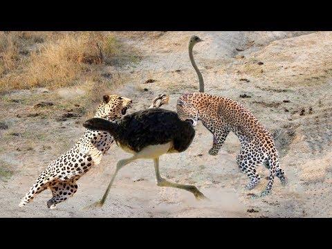 Ostrich vs Leopard