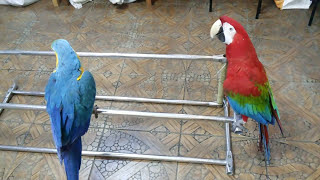 Попугаи ара.Филя и Гоша.Пока присадки в чистке-придумали куда посадить можно.
