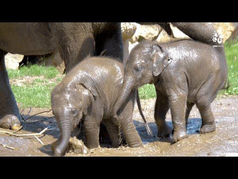Sloní hrátky v blátě