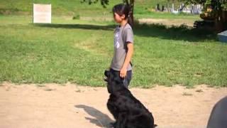栃木県小山市のドッグスクールピッピです。 家庭犬訓練済みのフラットコ...