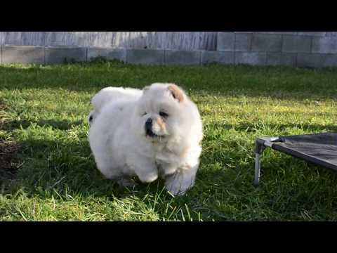 Cream chow chow pups