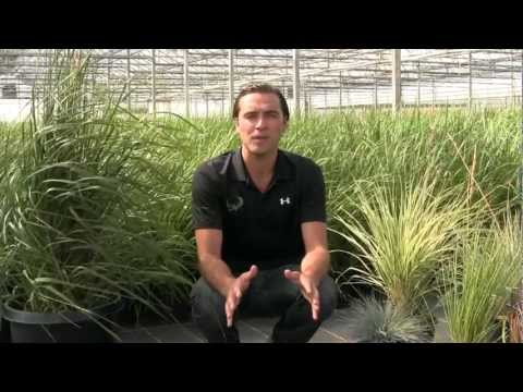 6 Ornamental Grasses ideal for Canadian Climates