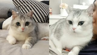 British Shorthair Cat Breed # 5