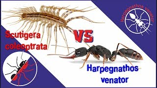 Муравей Harpegnathos venator vs Scutigera coleoptrata. Противостояние.