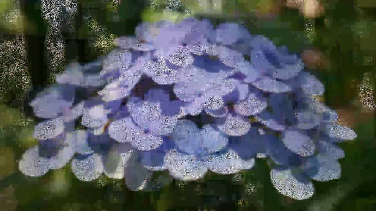 苗栗南莊繡球花之美MV - YouTube