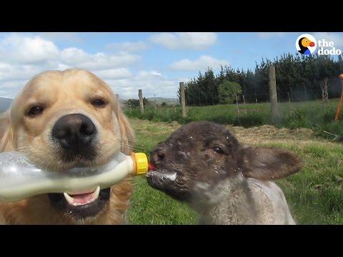 Dog Bottle-Feeds His Baby Lamb