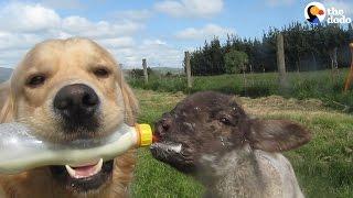 Dog Bottle-Feeds His Baby Lamb | The Dodo