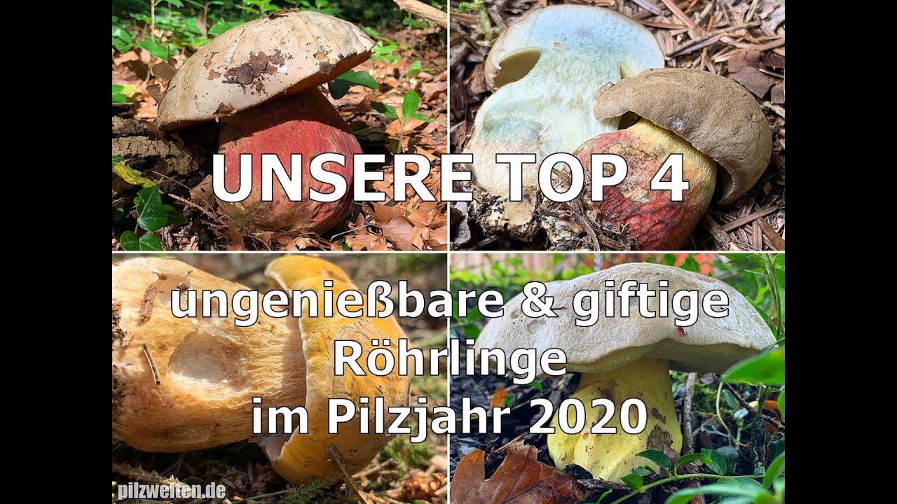 Download Unsere Top 4 | Ungenießbare & giftige Röhrlinge im Pilzjahr 2020 | Schönfußröhrling, Satansröhrling