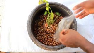 koi fish,  water lily pot setup