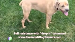 Italian Mastiff Tate's 2 Wk Board & Train Video At Cincinnati Dog Trainers Off Leash K9