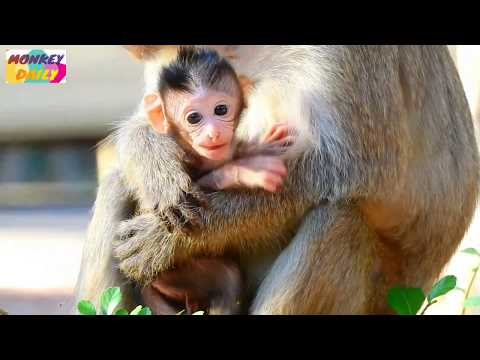 Supper milk Eleno newborn bite mom so long milk | Adorable Eleno milk so lovely | Monkey Daily 2369