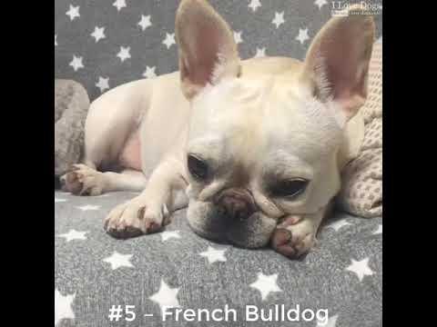 Top 10 Dog Breeds That Love To Sleep 💖💘🐶