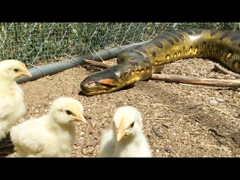 Anaconda Enters Chicken Coup to Feed, Catches 2 Birds at Same Time