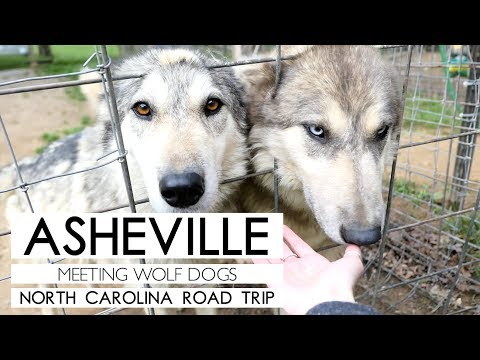 ASHEVILLE, NC. | HANGING OUT WITH WOLF DOGS