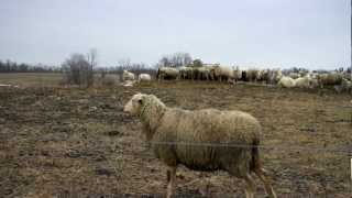 Sheep at a farm in Upstate New York