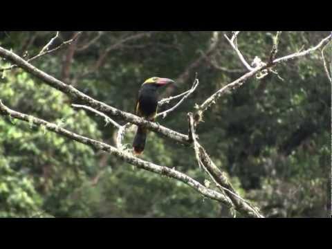 Displaying Golden-collared Toucanet/Selenidera reinwardtii