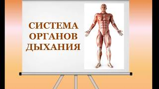 Видеоурок Дыхательная система