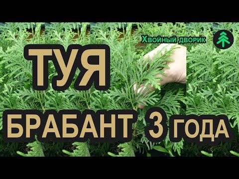 Сеянцы туи Брабант 3-х летка сезон осень 2019 год