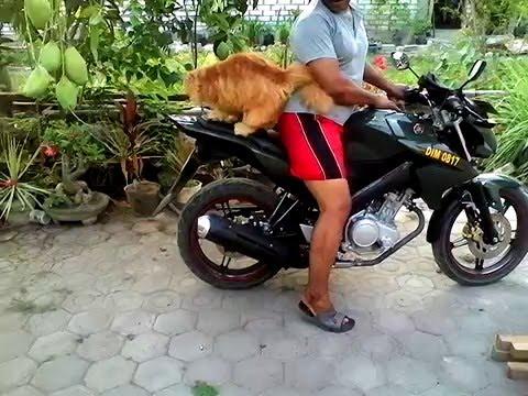 persia mainecoon kucing jinak gresik panceng