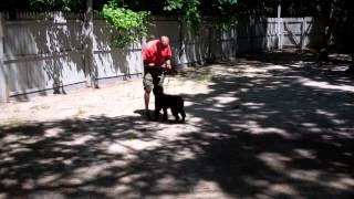 Stanley Completes The Obedience Commands He Learned While At Nora's Dog Training Company