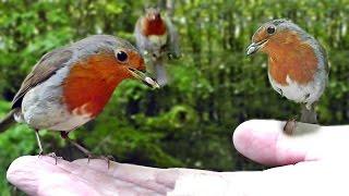 Hand Feeding Robins - Robin Birds Everywhere