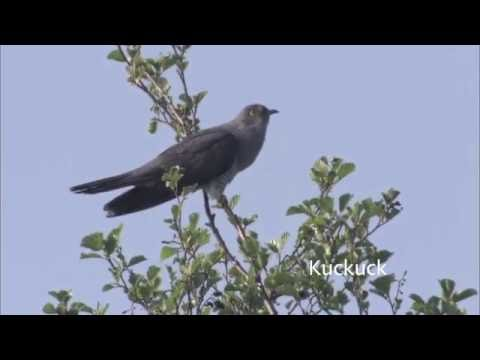 Vogelkonzert: Amsel, Nachtigall und Kuckuck
