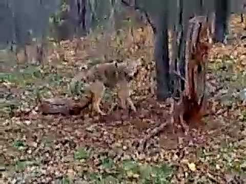 Coyote Trapping Dirt Hole Set My First Coyote Youtube