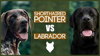 GERMAN SHORTHAIRED POINTER VS LABRADOR