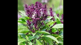 Holy Basil Improves Cognitive Function, Cortisol and Anxiety