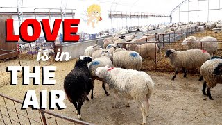 love-is-in-the-air-how-sheep-get-pregnant-vlog-224