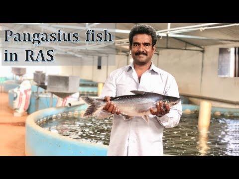 Pangasius Fish In RAS   Hindi   Viswanadha Raju   Kravis Aqua  