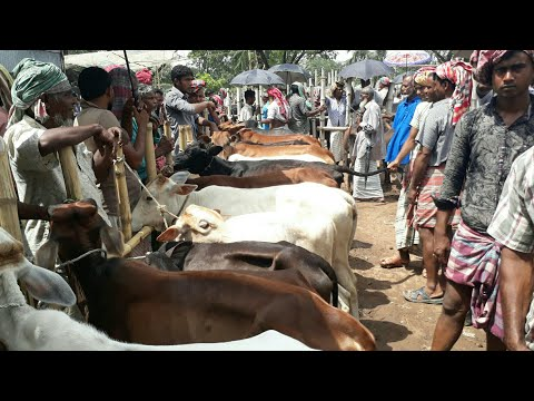 Cow - Calves market price in Bangladesh / BD Life Trailer
