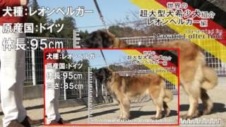 レオンベルガー 世界の超大型犬希少犬.
